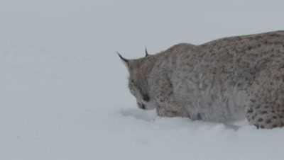 Eurasian Lynx pounces on meat thrown by trainers, buried in the snow