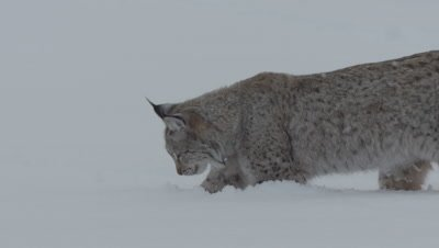 Eurasian Lynx digs through the snow, searching for meat thrown by trainers