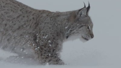 Eurasian Lynx running, digs through the snow searching for meat thrown by trainers
