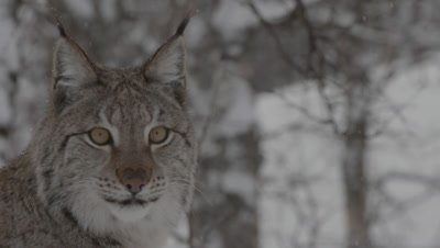 Eurasian Lynx in a wintry forest, alert and waiting for trainers to throw meat