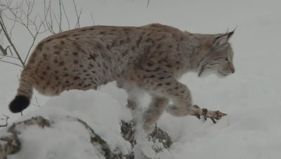 Eurasian Lynx leaps over fallen tree after toy thrown by trainer