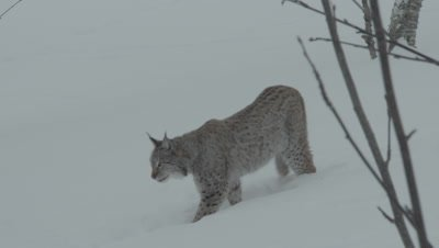 Eurasian Lynx walking through the snow in a wintry forest