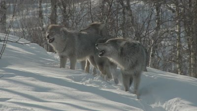 Eurasian Wolf pack howling and playing in the snow-covered forest at Polar Park