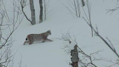 Eurasian Lynx walking through the snow-covered forest at Polar Park