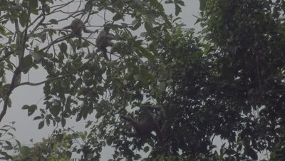 Bornean Gibbons, family leaping through trees