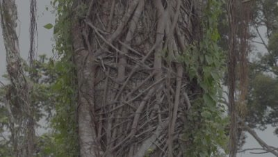 Partially colonised Strangler fig on host tree
