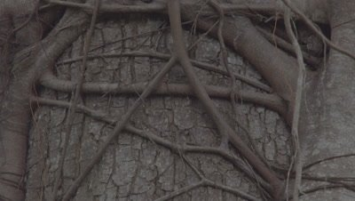 Close up, Partially colonised Strangler fig on host tree
