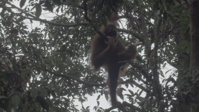 Orangutan adult female climbs up a tree and out of frame