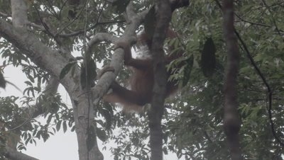 Orangutan adult female climbs up a tree