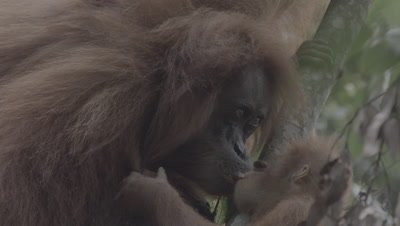 Orangutan Baby grabbing Mother's head as Mother drinks; kisses mother's mouth