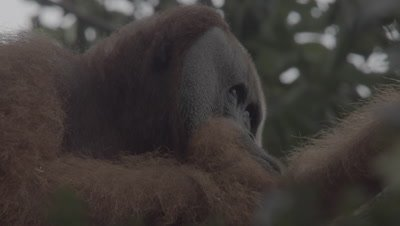 Adult Male Orangutan sitting in a tree, scratches it's back