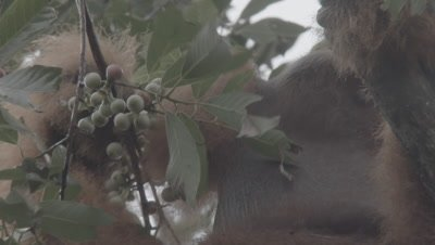 Adult Male Orangutan picking and eating fruit from tree