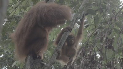 Orangutan Mother and Baby drinking water from a tree trunk