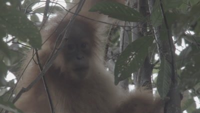 Orangutan baby chewing on a stick, then jumping up and down excitedly in the tree