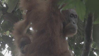Orangutan Mother and baby sitting near their tree nest; camera zooms in on the mother's face
