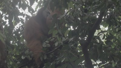 Adult Male Orangutan moving around in the rainforest canopy; partially obscured by leaves