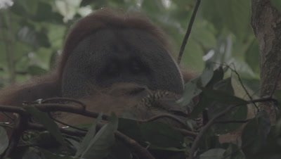 Adult Male Orangutan sitting in a tree nest eating Durian fruit