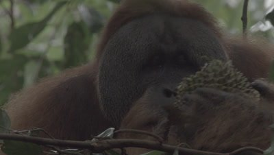 Adult Male Orangutan sitting in a tree nest eating Durian fruit; discards dead leaves from fruit