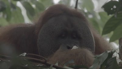 Adult Male Orangutan sitting in a tree nest eating Durian fruit; Female and baby come to beg for food (mother's hand enters frame)