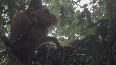 Adult Male, Female, and Baby Orangutan eating Durian fruit in tree nest