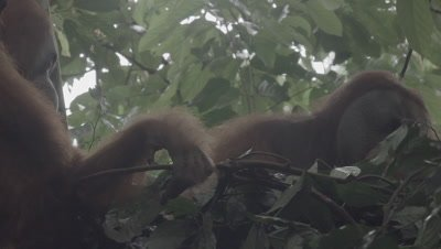 Adult Male Orangutan sitting in a tree nest eating Durian fruit; Female and baby sit nearby