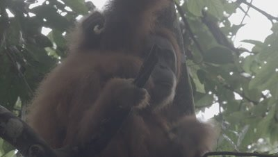 Adult Male, Female, and Baby Orangutan eating Durian fruit in tree nest; Baby hugs it's mother