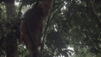 Adult Male, Female, and Baby Orangutan eating Durian fruit in tree nest; Male leaves nest