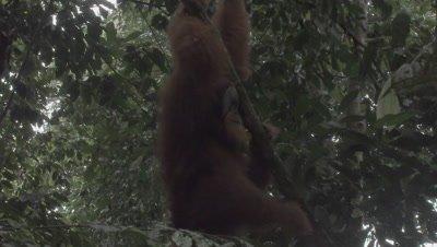Adult Male Orangutan climbs down tree to retrieve Durian fruit from ground