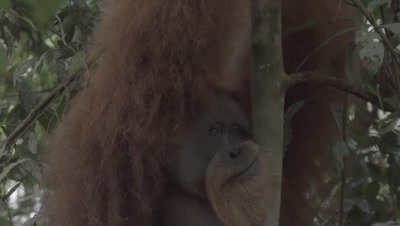 Adult Male Orangutan moving through the rainforest canopy; stops to watch forest surroundings
