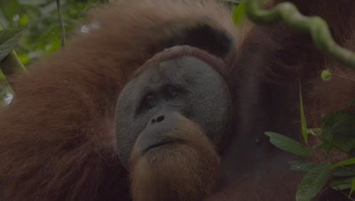 Close up on the face of an Adult Male Orangutan whilst feeding (good shot of cheek pads); scratches back