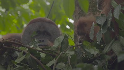 Adult Male Orangutan sitting in a tree nest eating Durian fruit; Female and baby come to beg for food