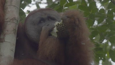 Adult male Orangutan in nest eating Durian fruit, dropping chunks down to forest floor (some audio)