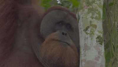 Adult male Orangutan moving through the rainforest canopy; hanging from a branch by one arm
