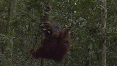 Adult male Orangutan moving through the rainforest canopy and retreiving food