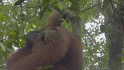 Adult Male Orangutan climbs up tree with a Durian fruit in his mouth