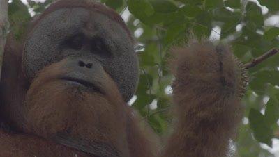 Adult male Orangutan in nest eating Durian fruit
