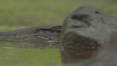 Close up on the face of a Water Monitor Lizard visible just above water's surface; partially obscured by a rock