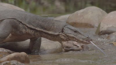Large wild Water Monitor Lizard moving over rocks on a riverbank, tongue flicking, hunting