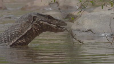 Large wild Water Monitor Lizard wades through the water near a riverbank, tongue flicking, hunting; bites a small branch