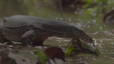 Water Monitor Lizard hunting in shallow water; lots of tongue flicking