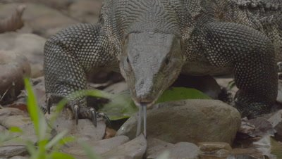 Water Monitor Lizard hunting on a riverbank, flicking it's tongue