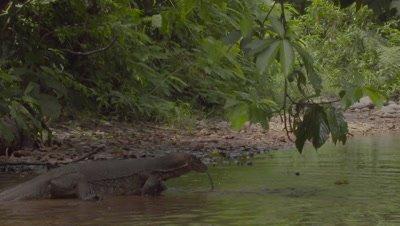 Water Monitor Lizard foraging in stream under branch