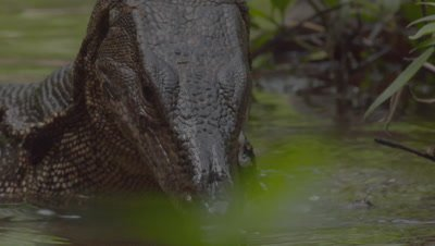 Close up on head of a Water Monitor Lizard whilst ducking under water and feeding