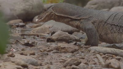 Water Monitor Lizard searching for food near riverbank; feeds on a scrap of meat