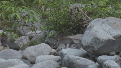Group of Crab-eating Macaques leaping across rocks away from camera; Baby macaque struggling to leap
