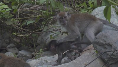 Baby Crab-eating Macaque struggling to leap across rocks; partially obscured by leaves