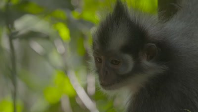 Close up on adult Thomas Leaf Monkey's face, looking down from tree
