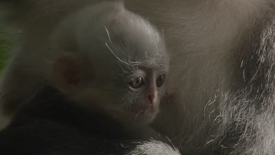 Close up on baby Thomas Leaf Monkey's face as it sits with its mother.