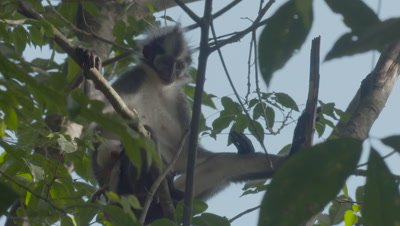 Adult Thomas Leaf Monkey with baby in tree