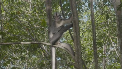 Mother Thomas Leaf Monkey watching her baby jumping around in trees.